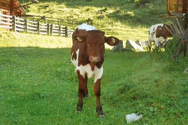 Hofeigene Hintergnadenalm nahe Obertauern, Urlaub am Bauernhof am Hubergut in Radstadt